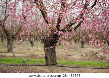 pink flower from almond farm in california - stock photo