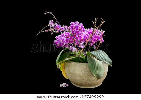 Pink flower in flowerpot isolated on black - stock photo