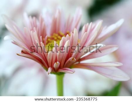 pink flower in garden - stock photo