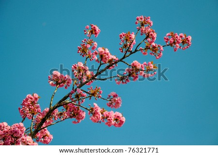 pink flower isolated on blue - stock photo