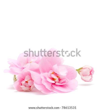 Pink Flower isolated on white -  tender floral background - stock photo