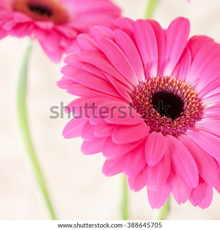 Pink Flower isolated, square cropped. - stock photo