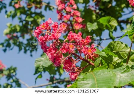Pink flower chestnut tree stock photo royalty free 191251907 pink flower of chestnut tree mightylinksfo
