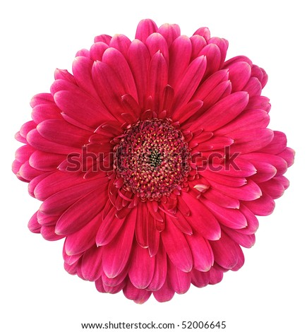 pink flower of gerbera isolated on white background - stock photo
