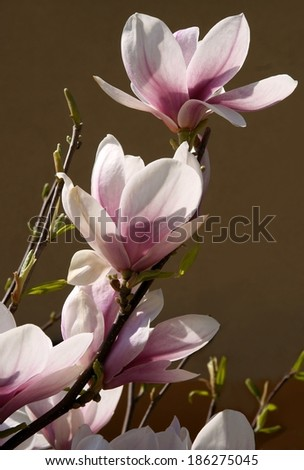 pink flower of magnolia blossoming