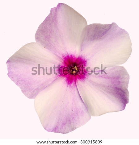 Pink flower of phlox, isolated on a white background - stock photo