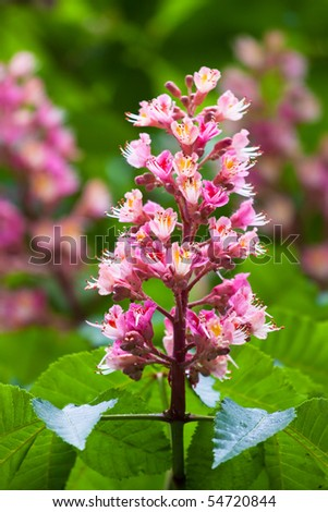 Pink flower of the chestnut - stock photo