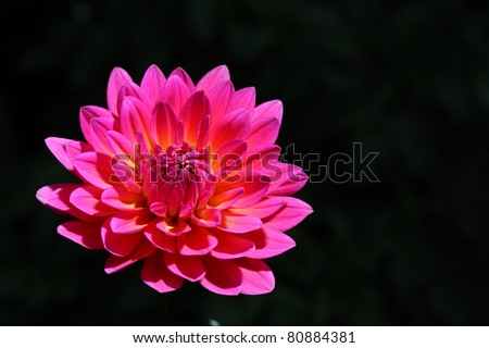 pink flower on black background. - stock photo