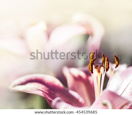 pink flower on blur background, Beautiful pink lily in the sunshine, abstract nature background with pink blossom