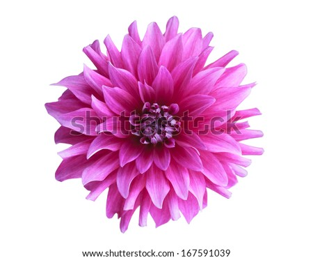 Pink flower on isolate background - stock photo