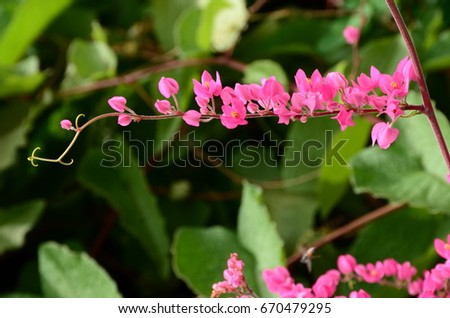 Pink flower petal ... Sweet heart flower petal With insect mass.