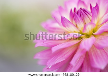 Pink Flower, pink dahlia close up, isolated - stock photo