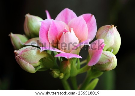 Pink Flower with Buds About to Bloom - stock photo