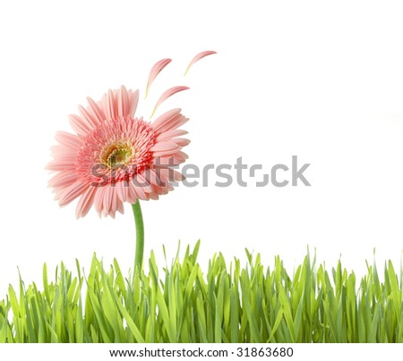 pink flower with petals flying isolated on white - stock photo