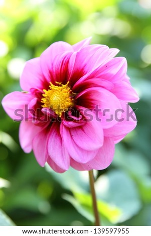 Pink flower with yellow centre close up - stock photo