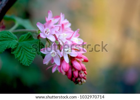 Pink flowering currant ribes sanguineum stock photo royalty free pink flowering currant ribes sanguineum mightylinksfo