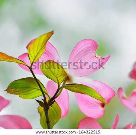 Pink Flowering Dogwood - stock photo