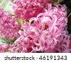 Pink flowering hyacinth bulbs - stock photo
