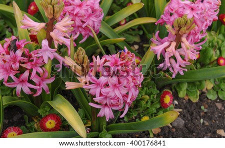 Pink Flowering Hyacinth (Hyacinthus orientalis) in a Flowerbed in a Country Cottage Garden, Surrey, England, UK