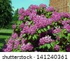 Pink flowering rhododendron near red brick house wall - stock photo