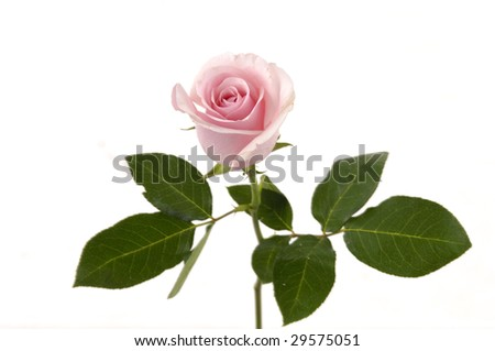 Pink flowering rose with a bright green foliage