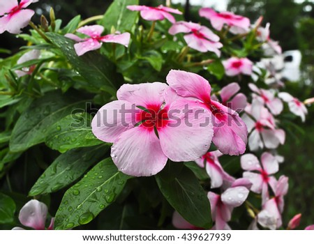 Pink flowers after the rain - stock photo