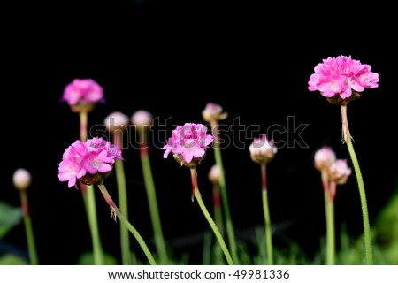 Pink Flowers against Black - stock photo