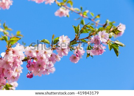 Pink flowers and fresh green leaves of cherry tree on bright blue sky background, closeup photo with selective focus - stock photo