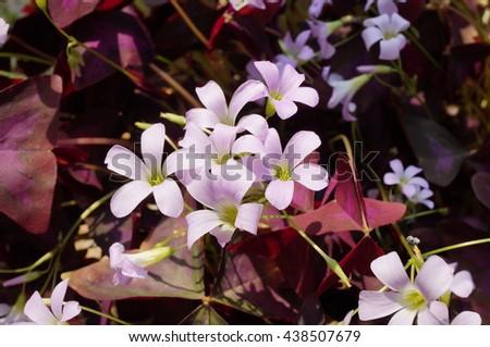 Pink flowers and purple foliage of Oxalis Triangularis - stock photo