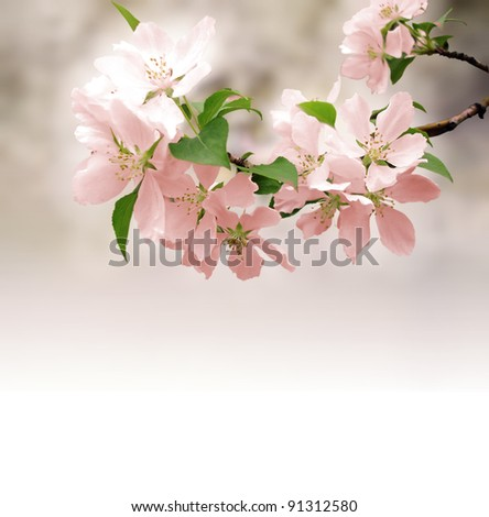 pink flowers blossoming tree branch deep bokeh - stock photo