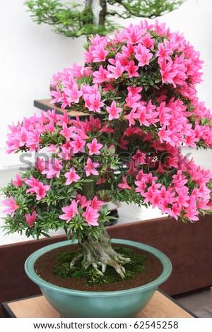 Pink flowers bonsai tree - stock photo
