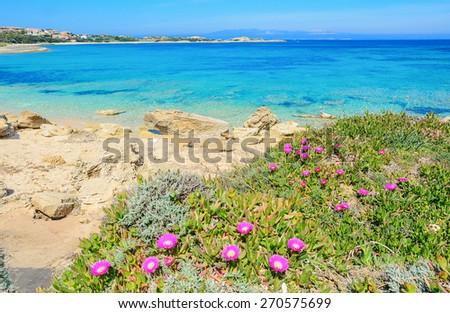 pink flowers by Capo Testa shoreline. Shot in Sardinia, Italy - stock photo