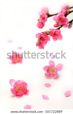 Pink flowers hanging from a branch and sitting on the ground falling apart. - stock photo