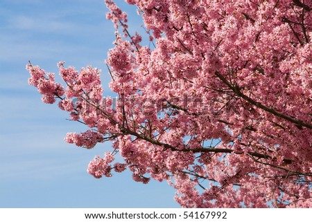 pink flowers in early spring - stock photo