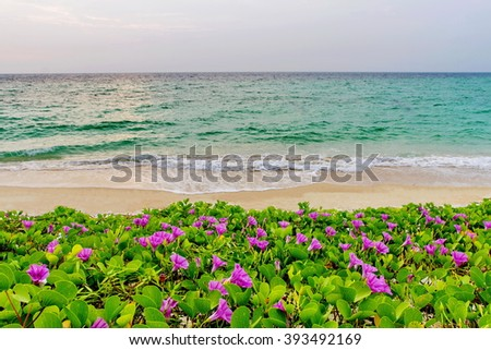pink flowers (Ipomoea pes-caprae) and beach in the morning sunrise - stock photo