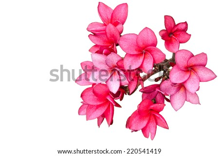 Pink flowers isolated on white - stock photo