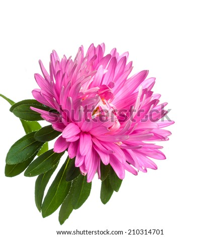 pink flowers of Aster  isolated on white background
