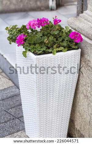 pink  flowers of geranium blooming luxuriantly in a white pot of rattan - stock photo