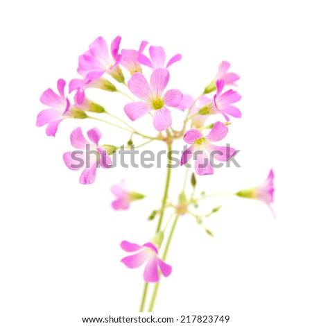 Pink flowers of Oxalis corymbosa isolated on white - stock photo