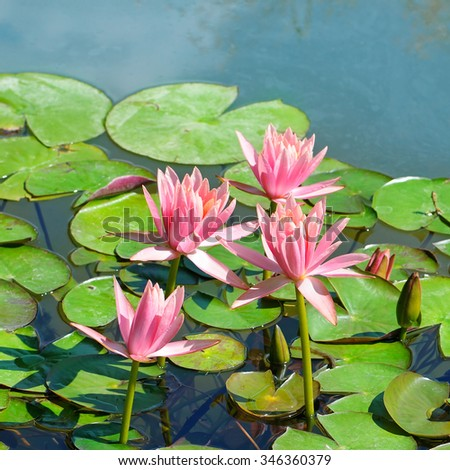 pink flowers of water lilies in a pond - stock photo