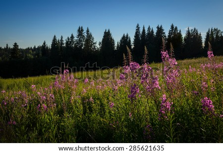 pink flowers of willow-herb on the meadow - stock photo