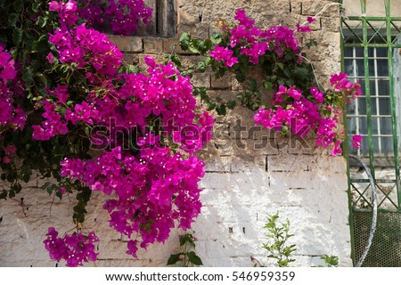 Pink flowers on a tree in the village of Krits�¡. Greece.