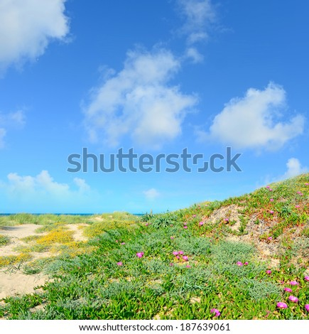 pink flowers on sand dunes in Platamona, Sardinia