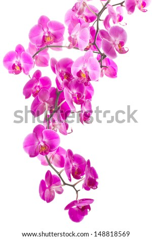 pink flowers orchid on white background - stock photo