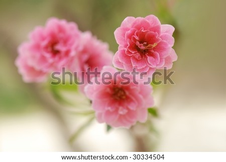 Pink Flowers--Peach blossom - stock photo