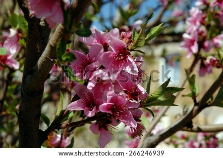Pink flowers. Peach blossom. Flowering fruit tree. - stock photo
