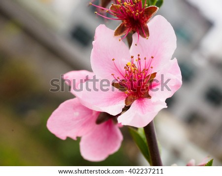 Pink flowers plum in spring