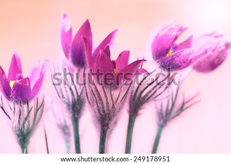 Pink flowers (Pulsatilla patens) on the soft background with shining sun - stock photo