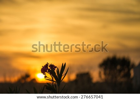 Pink flowers silhoutted in front of a golden andalucian sunset. - stock photo