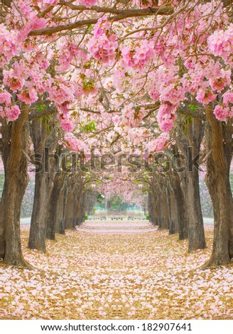 Pink flowers Tabebuia rosea blossom - stock photo